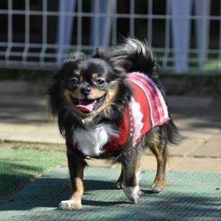 ✭*.+゚ . . にっこり え が お ( ˙ᵕ˙ ) 💓 かわいい かわいい もかたん ´•ﻌ•`🐾 . . #ちわわ #チワワ #Chihuahua #ちわわ部 #犬ばか部 #ロングコートチワワ #ブラックタンホワイト #愛犬 #もか #moca #男の子 #4歳 #靴下犬 #笑顔 #可愛い #親ばか #内弁慶 #甘えん坊 #ドッグラン #dogrun #山水 #SUNSUI #栃木 #小山 #看護師 #ナース #Ns #5年目 #未熟者 #外科 . . 日に日に 甘えん坊が増していますが、 それもまた可愛いのです (´-`).。 oO💓笑