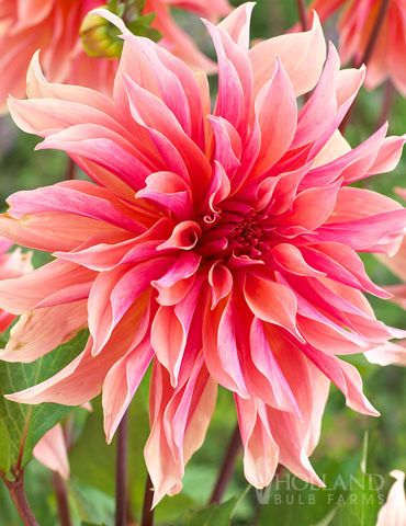 Labyrinth Dahlia is a new and exclusive dahlia from our growers in Holland. The varying shades of pinks and peaches, make this a summer time favorite! Plant with orange and yellow colors for a warm and tropical feel!