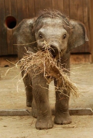 A baby elephant holding hay with its trunk.