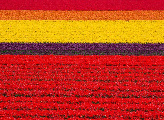 Campi di tulipani nei Paesi Bassi tulipani
