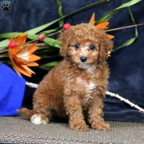 Cookie Cavapoo Puppy For Sale In Pennsylvania Cavapoo Puppies