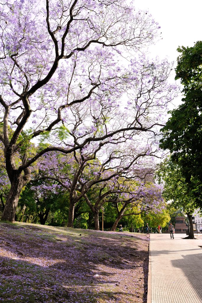 plaza san martin buenos aires argentina jacaranda - Google Search