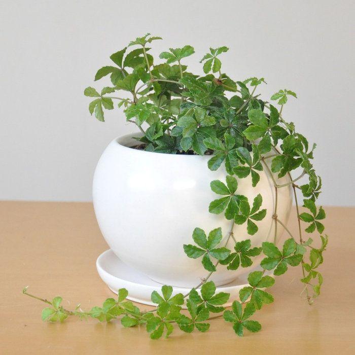 【楽天市場】new!! シュガーバイン 白色丸型陶器に植えた 5枚葉の美しい植物パルテノシッサス:LAND PLANTS 楽天市場店