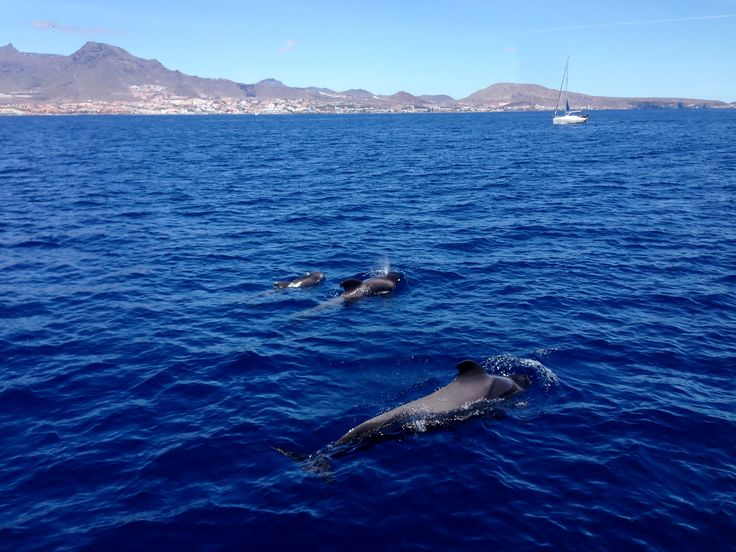 """""""An incredible Whale & Dolphin watching experience in Tenerife"""" for @islascanarias"""