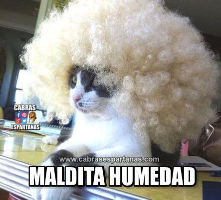 Cuando el gato se peina y por la maldita humedad se le riza el pelo. Ya es que no puede uno ir peinado en condiciones. Imagen humor gato