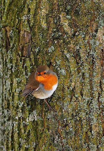 A robin on a tree in Washlands park, Staffordshire_Snow blankets Britain - in pictures