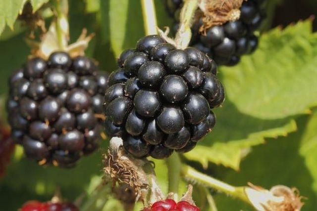 Zdrowie z roślin: Witaminowa czarna bomba – Jeżyny