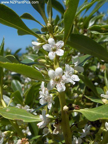 Myoporum laetum  ngaio   (NZ) Ngaio is principally a coastline plant, where it…