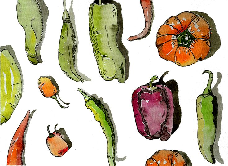 Watercolor and ink green and red peppers.