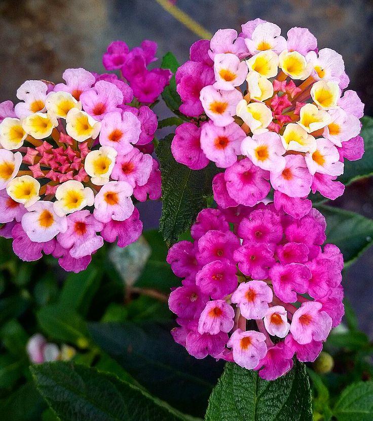 110 best flower lantana love images on pinterest lantana tree lantana mightylinksfo Image collections