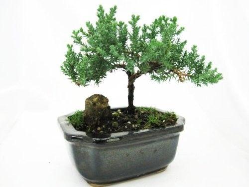 Japaness-Juniper-Bonsai-Tree-w-Bonsai-FERTILIZER-Plant-Pot