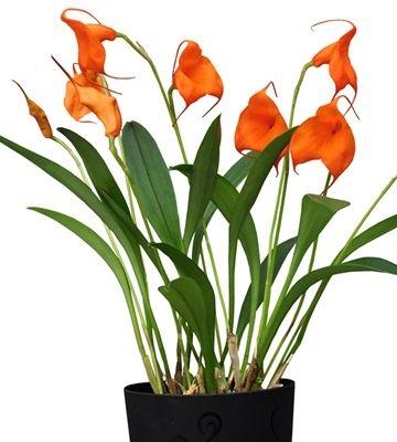 Orkidea Bellavallia Orange