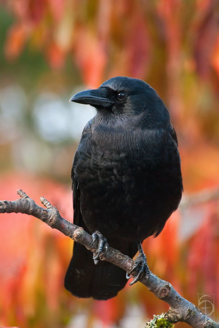 541 best crows ravens images on pinterest crows ravens jackdaw