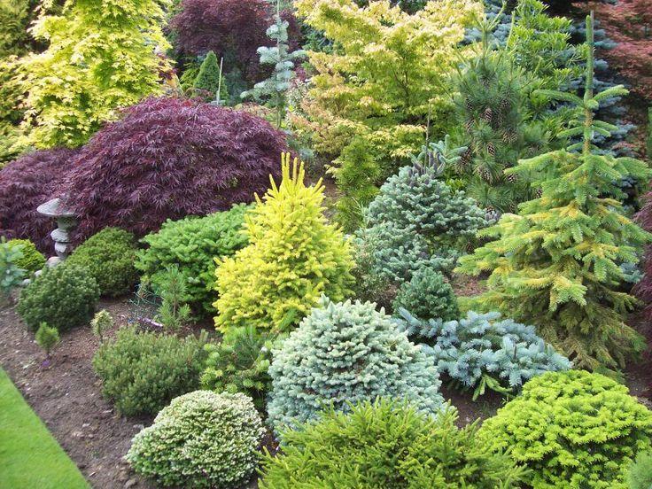 small dwarf evergreens