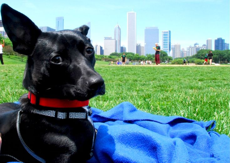 17 best chicago living images on pinterest chicago for Most apartment friendly dogs
