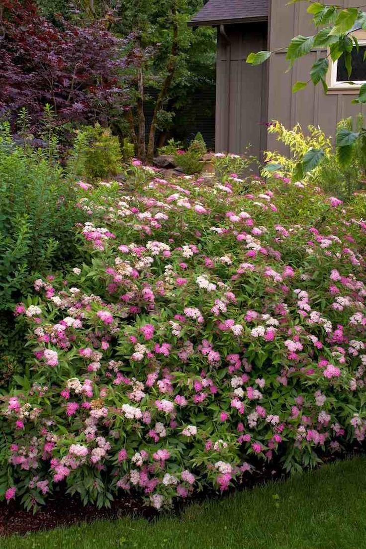 arbustes à fleurs roses à floraison estivale- spirée japonaise Crispa