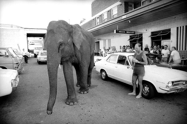 Locals at the Kauri Hotel in Glebe had a stranger in their midst when Dolly, a 16 year old elephant with the Sole Bros Circus, came to visit with trainer Barry Norman. January 24, 1979.