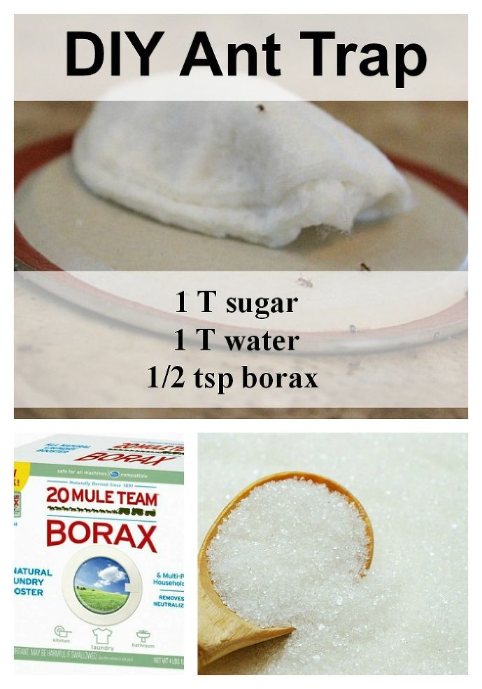 POISON WARNING .... Make sure this is out of the reach of children!    DIY Ant Trap and Pesticide Powder.  Mix sugar, water & borax; saturate a cotton ball with it.  Leave on counter on a lid.