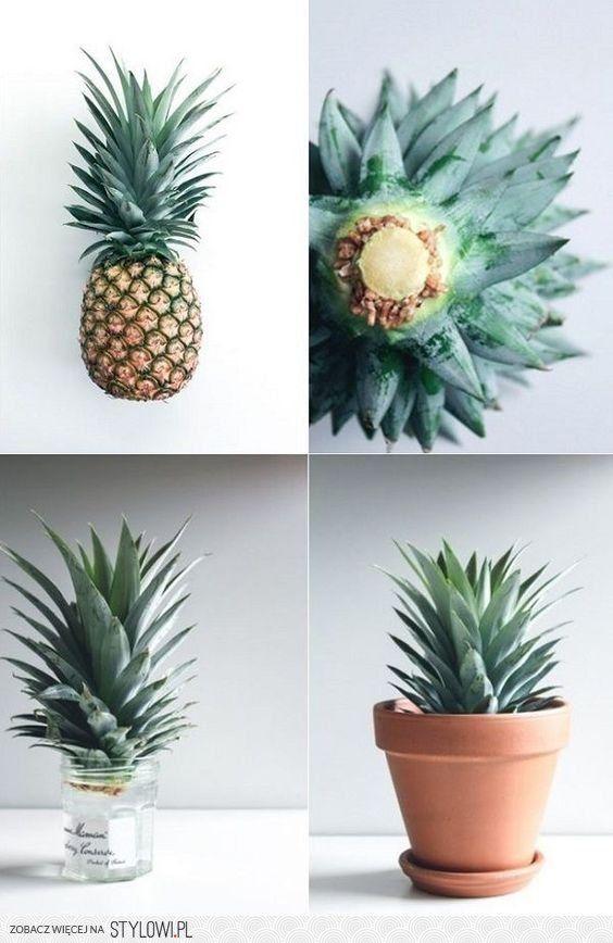 um vasinho com a coroa do abacaxi