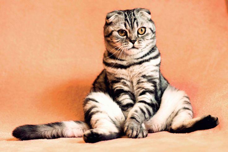 Шотланская вислоухая кошка. Фотограф Юрий Сидоренко https://photographerwedding.io.ua