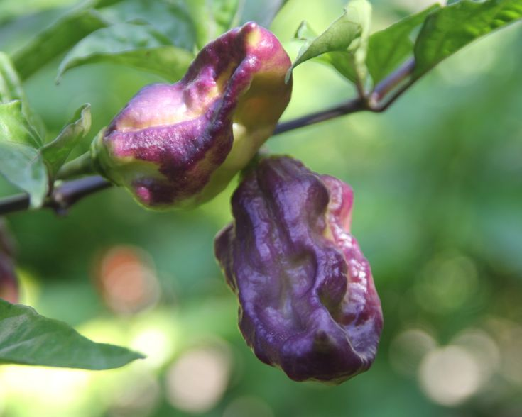 Yaki Blue Fawn #eclectic #hotpeppers in my #garden #PeperonciniPiccanti #peperoncino #peperoncini #peppers goo.gl/adgHE