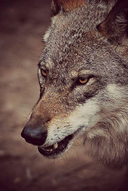 By sisterofthewolves - Eurasian wolf (Canis lupus lupus) at Namsskogan Wildlife Park in Norway.