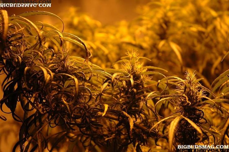 Grow Monster-Size Medical #Marijuana Plants Indoors To Maximize Yield & #THC.