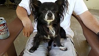 Fountain Valley, CA - Papillon/Pomeranian Mix. Meet Oliver a Dog for Adoption.