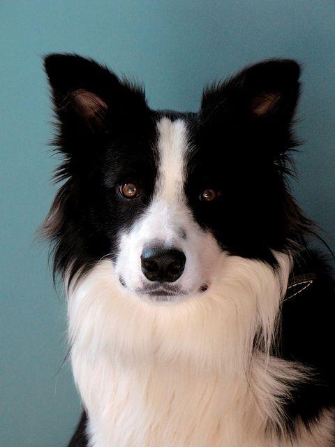 Our beautiful border collie. Born on cinco de mayo, 2009 :)