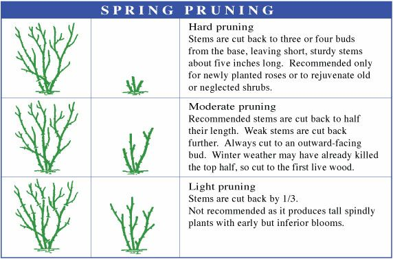 Pruning Roses | The Tree Center™