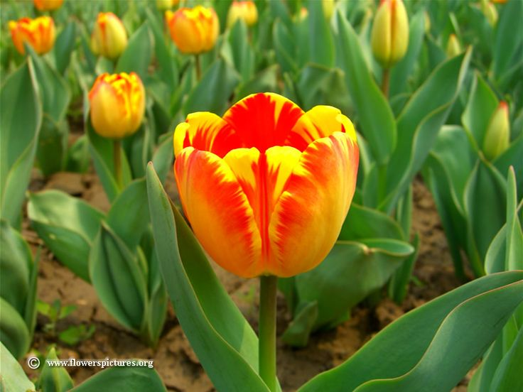 tulips pictures | orange tulip flower picture photo 1213 image size 800 x 600