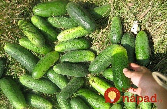 Trik, vďaka ktorému budú mať tento rok uhorky, tekvice a zeler omnoho viac plodov!
