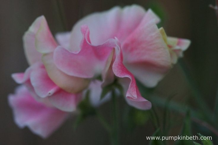 Lathyrus odoratus 'John Gray' produces beautiful flowers that are pale pink on a white ground.
