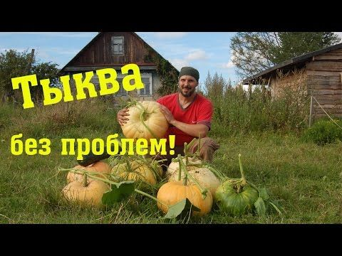 Тыква без полива и прополки // Из города в деревню - YouTube