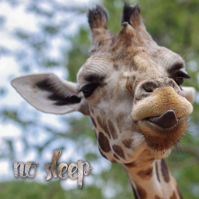 Giraffes need only 5-30 minutes of sleep in 24-hour period. 💤 earlyapp.io #nosleep #nosleep💪 #snooze #alarm #alarmclock #giraffe #animals #wildanimals #jungle #games #app #fun #funnypictures #sleep #tired #productivity #wakeup #stayup