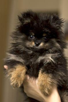 Hudson the #pomeranian. We are parents to 3 black/tan Poms! Partial to those black/tans! Cute!