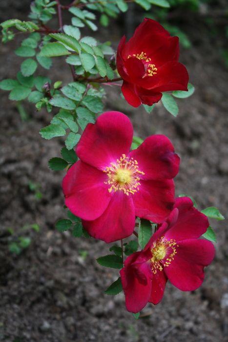 Rosa pimpinellafolia 'Tove Jansson'