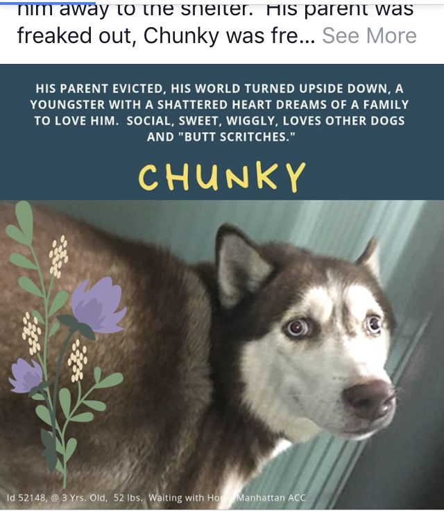 Chunky Pulled By Siberian Husky Assistance Rescue Program Of Ny