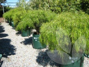This is a a graceful weeping schrub with fine bright green foliage that forms a rounded bush about 75cm tall and a metre wide. The leaves give a soft appearance and is soft to the touch. They are pale green in colour and have yellow flowers produced in spring.