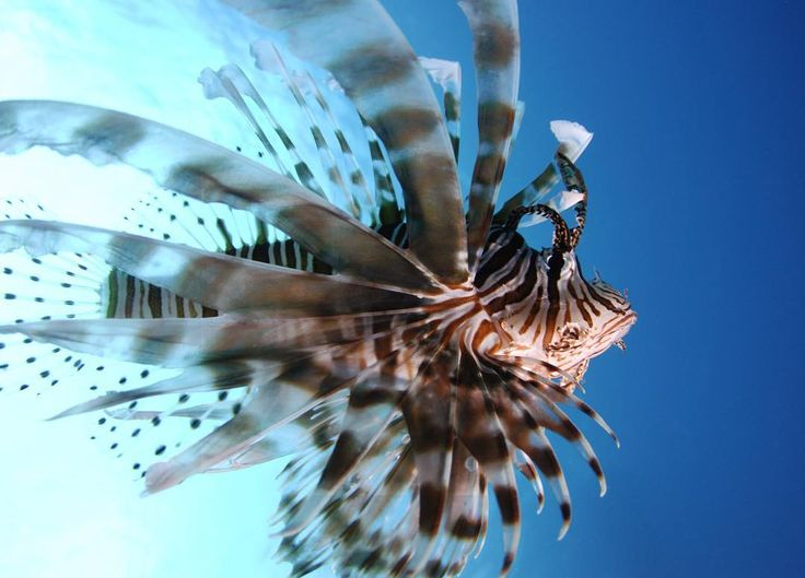 #オーストラリア#ケアンズ#クイーンズランド州#グレートバリアリーフ#珊瑚#海#青#アウターリーフ#シュノーケリング#スキンダイビング#ダイビング#australia #cairns#queensland#greatbarrierreef#ocean#sea#blue#underthesea#coral#outerreef#snorkeling#skindiving#diving by underthesea_24 http://ift.tt/1UokkV2