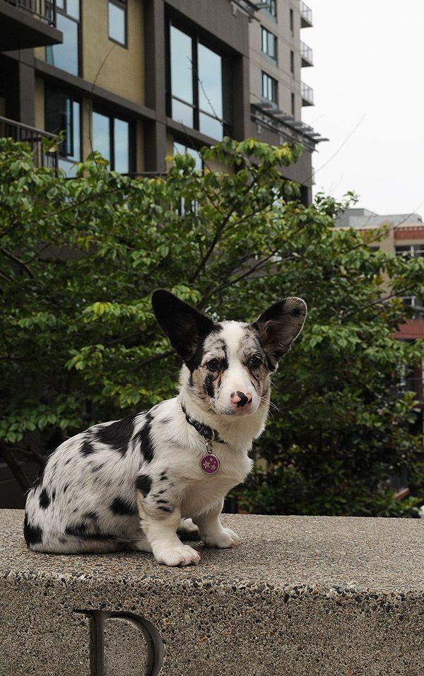 Cardigan Corgi Corgi Cardigancorgi Corgi Puppy Puppies Corgi Dog
