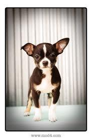 chihuahua terrier mix, Omg romeo has a floppy ear too!!! Lovvve