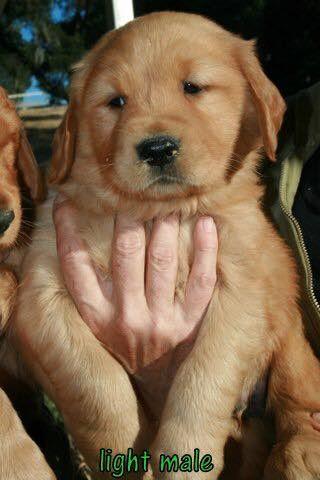 Golden Retriever Puppy For Sale In Atascadero Ca Adn 34306 On Puppyfinder Com Gender Male Age 7 W Golden Retriever Puppies For Sale Golden Retriever Puppy