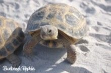 Russian Tortoises For Sale