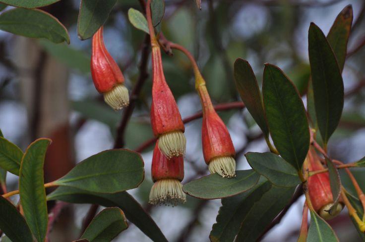59 best images about a native  drought tolerant garden on pinterest