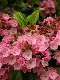 Mountain Laurel.  Shade flowering bush