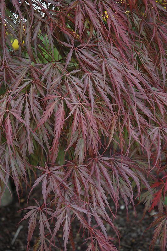 Click to view full-size photo of Tamukeyama Japanese Maple (Acer palmatum 'Tamukeyama') at The Barn Nursery and Landscape Center