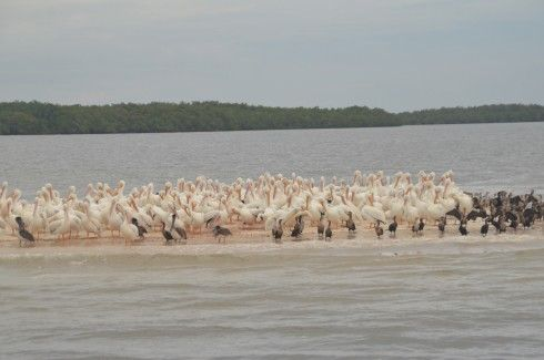 White Pelicans on Indian Key, Everglades N.P.