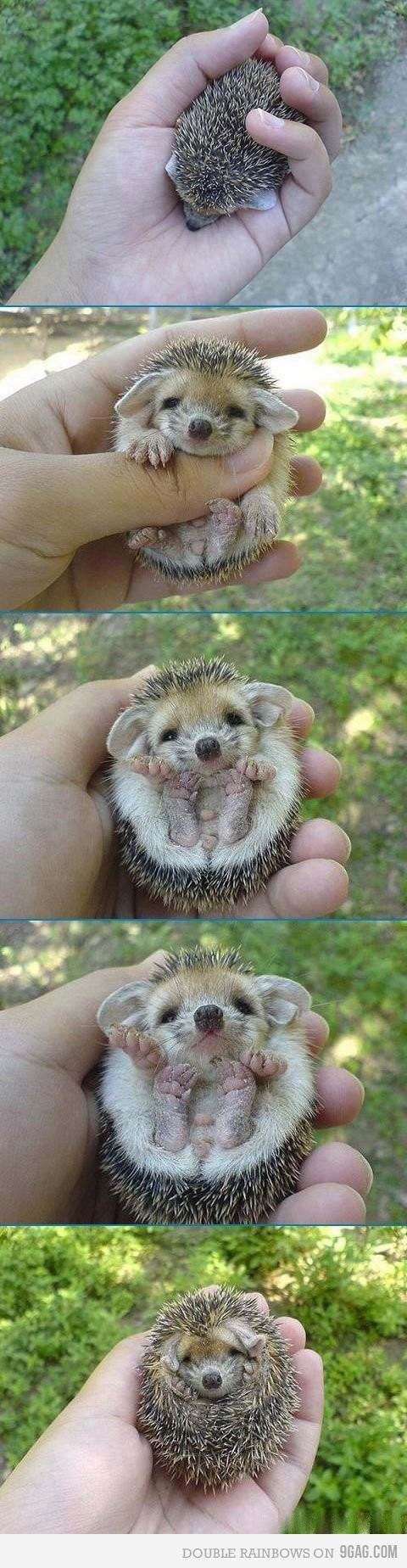 Hedgehog! ME WANT! In all honesty, I've wanted a pet hedgehog ever