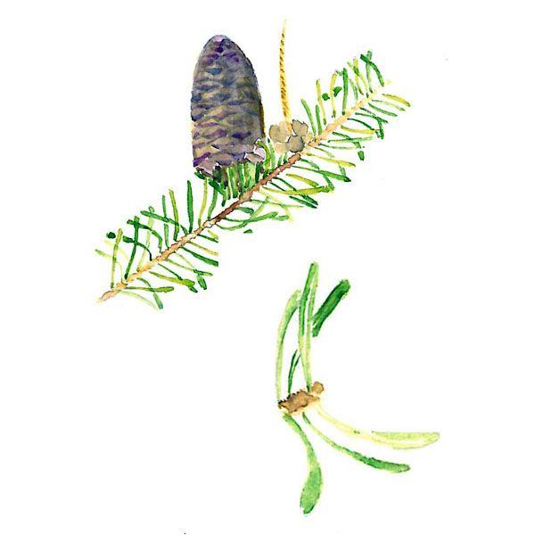 Chémotypes : α et β-pinène, δ-3-carène / Nom botanique : abies balsamea / Origine : Canada / Partie distillée : aiguille